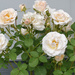 My Favorite Rosebush