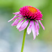 173 365 Double Scoop Bubble Gum Coneflower by dboelter