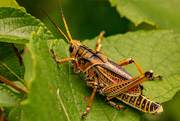 23rd Jun 2021 - Eastern Lubber Grasshopper!