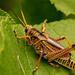 Eastern Lubber Grasshopper!
