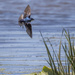 Swallow in Flight! by jyokota