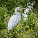 Breeding Great Egret