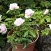 Rose in a Pot by boatman137