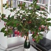 Fuschia, beautifying my flat in the 60th birthday champagne bottle Daniel gave me almost 17 years ago by vickyguedalla