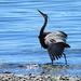 Heron Courting Ritual by seattlite