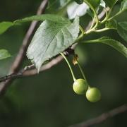 24th Jun 2021 - Cherry tree
