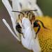 Long-horned sunflower bee by fayefaye