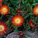 Delosperma Flowers  by gardencat