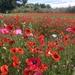 Suffolk Poppy Fields