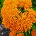 Orange flower  by larrysphotos