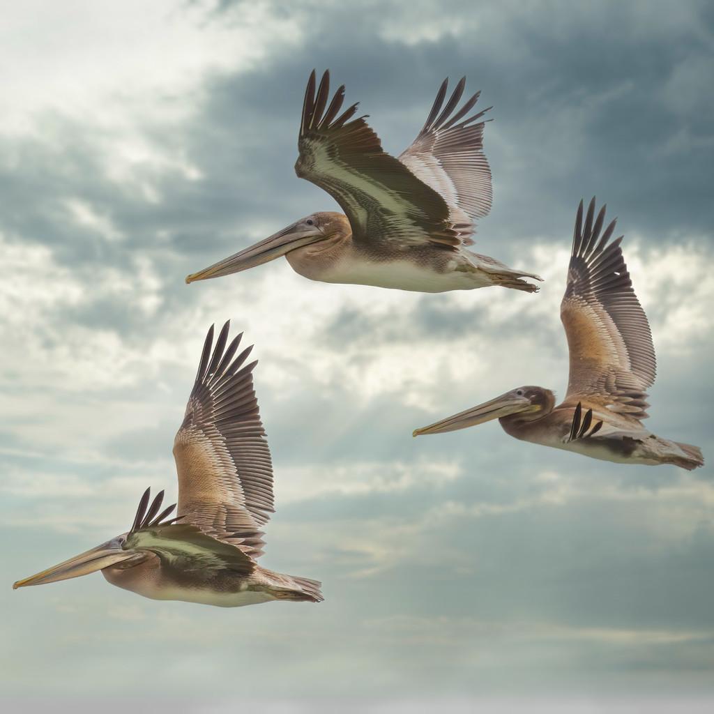Brown Pelicans by mikegifford