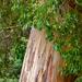 Gum Tree Trunk