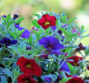 25th Jun 2021 - Hanging Basket Flowers