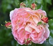 25th Jun 2021 - Rose - buds