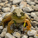 Hey There, Little Frog by kareenking