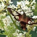 Hummingbird Clearwing Moth by radiogirl