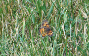 25th Jun 2021 - Butterfly in the grass