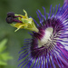 Blue Passion Flower by pdulis