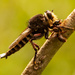Robber Fly With It's Prey! by rickster549