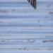 Swallow in Flight Bookmark