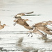 Godwits coming in to land by maureenpp