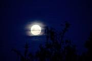 24th Jun 2021 - Silvery moon rising through the trees