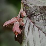 26th Jun 2021 - Making Hazelnuts