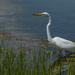 White Egret by sprphotos