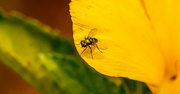 26th Jun 2021 - The Fly Photobombed the Flower!