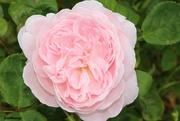 27th Jun 2021 - Rose - Queen of Sweden