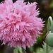 Pom Pom poppy by wakelys