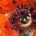 poppy by christophercox