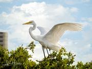 27th Jun 2021 - Great Egret