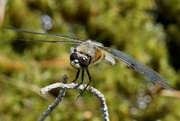 27th Jun 2021 - FOUR SPOTTED CHASER AT REST