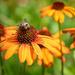 Coneflower and Bee by marylandgirl58