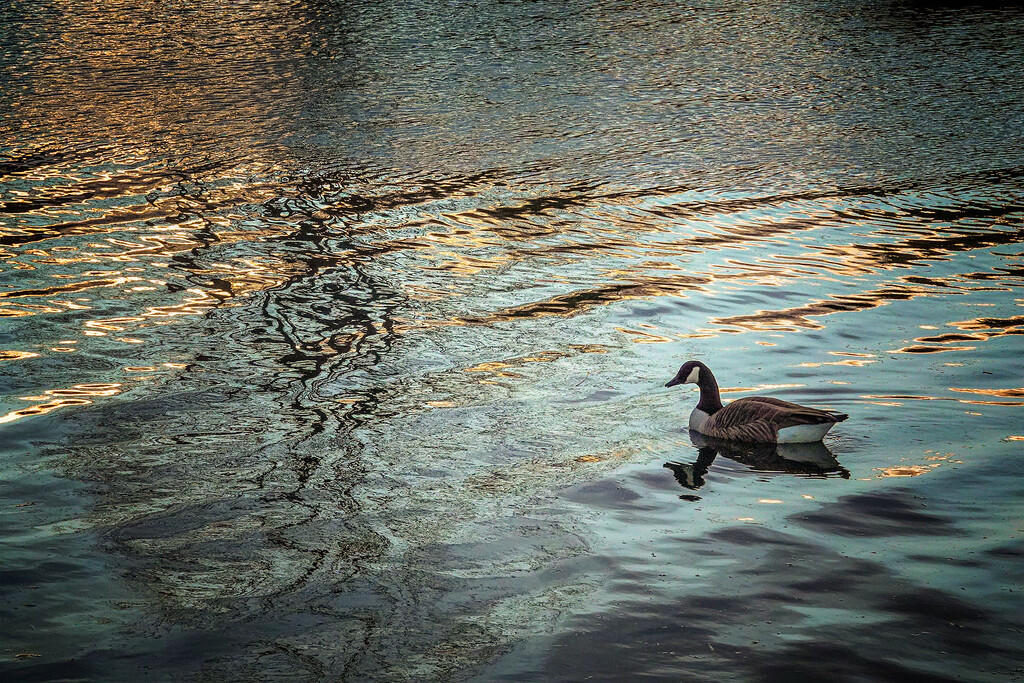 Canada Goose on the Avon River Christchurch NZ by maureenpp