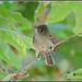 Eye catching Flycatcher...