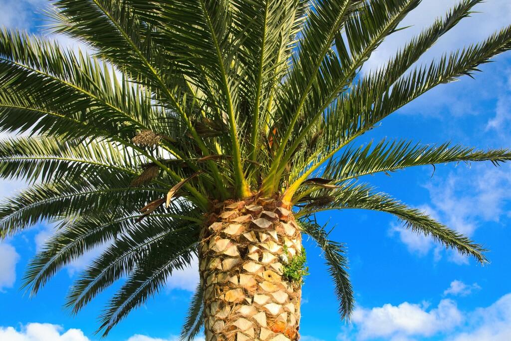 Palm tree by kiwinanna
