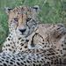 cheetah boys 3 by mv_wolfie