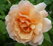 26th Jun 2021 - The Beauty   In A Rose.