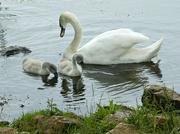 28th Jun 2021 - Swan Family.