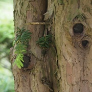 29th Jun 2021 - Trunk of the Taxus