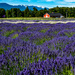 Lavender field and red barn  by theredcamera