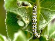 29th Jun 2021 - Mullein moth caterpilla - Cucullia verbasci