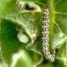 Mullein moth caterpilla - Cucullia verbasci by moonbi