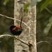 red-backed fairy wren by koalagardens