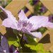 Pink Clematis by pcoulson