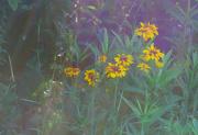 28th Jun 2021 - blanket flowers
