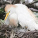 Cattle Egret with peek-a-boo baby  by dutchothotmailcom