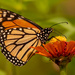 Finally Got One of the Monarch Butterfly's! by rickster549